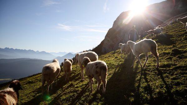 Schafe kehren von der Alm retour