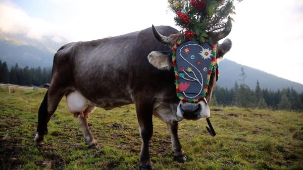 Wenn die Kühe ins Tal wandern