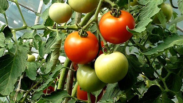 Tirol blüht auf: Gurken und Tomaten