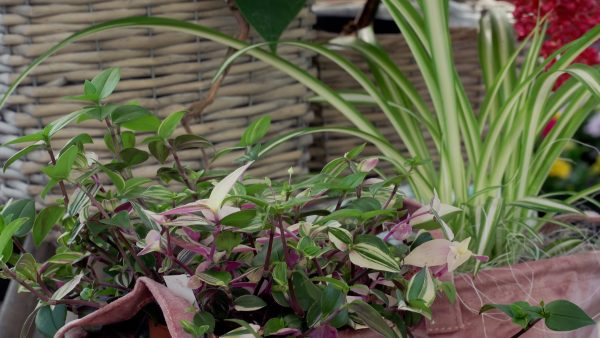 Tirol blüht auf: Zimmerpflanzen gießen