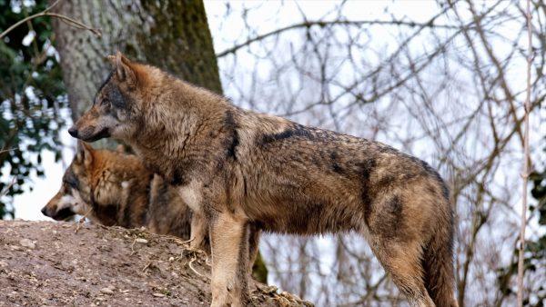 Wolf, Bär und Luchs sind zurück